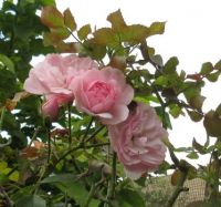 Blooms again in my Bonica Rose....