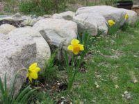 My beautiful daffodils