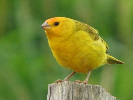 A yellow Canary bird.