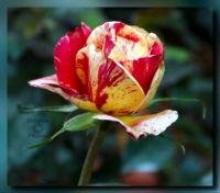 Rose bud 48