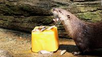 Keeping Cool - Otter with a Frozen Lunch
