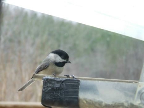 Carolina Chickadee NOT Black Capped