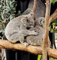 Grooming Koalas