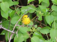 Yellow Warbler in Lilac Bush