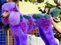 """""""Vinyard"""" - The Designer Poodle"""