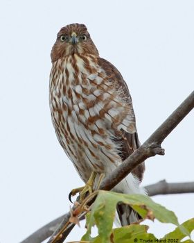 Cooper's Hawk in Sycamore