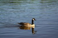 Canada Goose, reflected