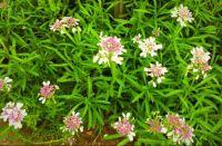 Candytuft flower