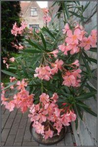 Růžový oleander...  Pink oleander ...