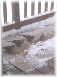 Mourning doves feasting on birdseed this morning - they can have as much as they want.
