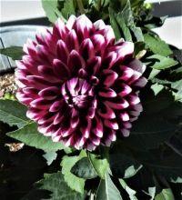 My Dahlias is blooming!