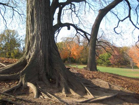 Prospect Park - tree with big roots
