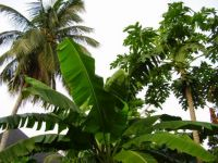 Palm, papaya and plantain trees