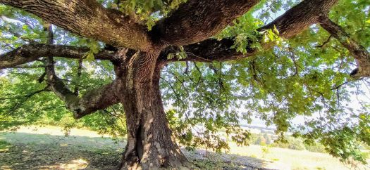 Secular oak, Novi Ligure, Piemonte, Italy