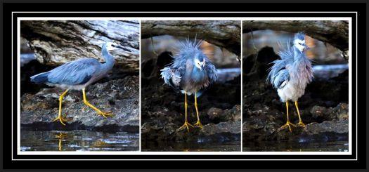 Blue Heron - Shake It Up!