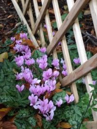Another clump of Cyclamen