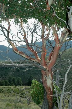 Madrone Tree on Hike in Dog Canyon, TX