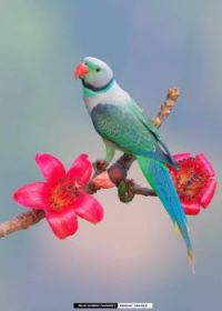 Male blue winged parakeet