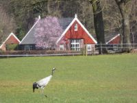 Crane / Kraanvogel, seen in Winterswijk, one alone