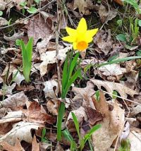 Lonely little daffodil on the edge of the woods