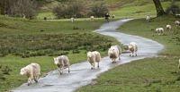 English Lakes Herdwick Sheep
