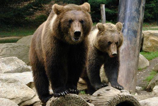 Brown pyrenean bear