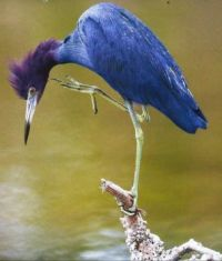Blue Little Blue Heron Calendar Page 2017
