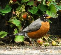 ROBIN BY THE STRAWBERRY BEDS IN SUMMER