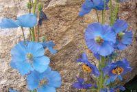 pavot-bleu
