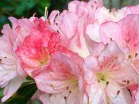 azalea closeup--challenging