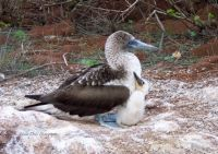 Blue Footed Booby and Chick, Galapagos Islands