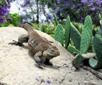 San Diego Zoo - Iguana & Cacti