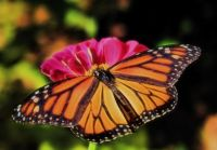 Monarch Butterfly 4-1-17