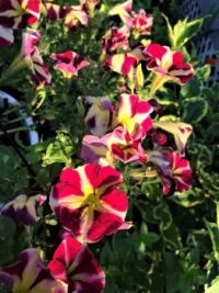 Petunias, Early Morning (challenge)