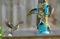 Goldfinches & Chipping Sparrow