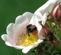red-tailed bumblebee on dog rose (steenhommeltje)