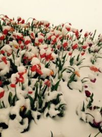 Tulips in the snow.