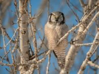 Northern Hawk Owl (Surnia ulula) by ER Post