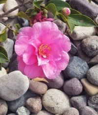 Sasanqua Camellia and Rocks