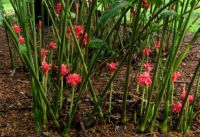 Siamese Ornamental Rose Ginger