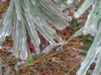 Ice on the pines
