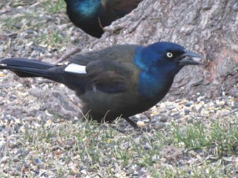 Grackle with a White Feather