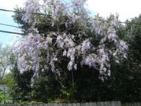 Wisteria in my backyard
