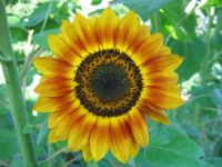2009-08-24 SunFlower_04