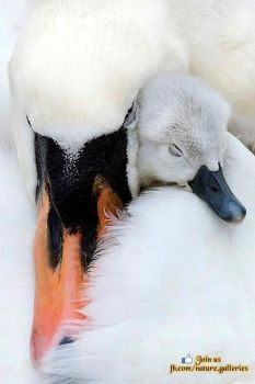 Mother and baby swan