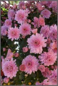 Růžová krása...  Pink beauty ...