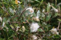 Salix seed