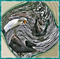 Ducks in a whirl.