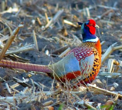 Pheasant in IA early spring