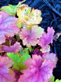 jeweled heuchera--more challenging